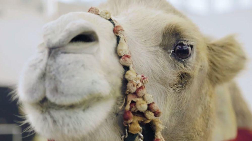 Testimonial aus der Wüste: das werbende Kamel (Screenshot: invidis.de)