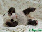 Keine Puppe, aber echt süß: Yuan Tsai im Alter von einem Monat (Foto: Taipei Zoo)