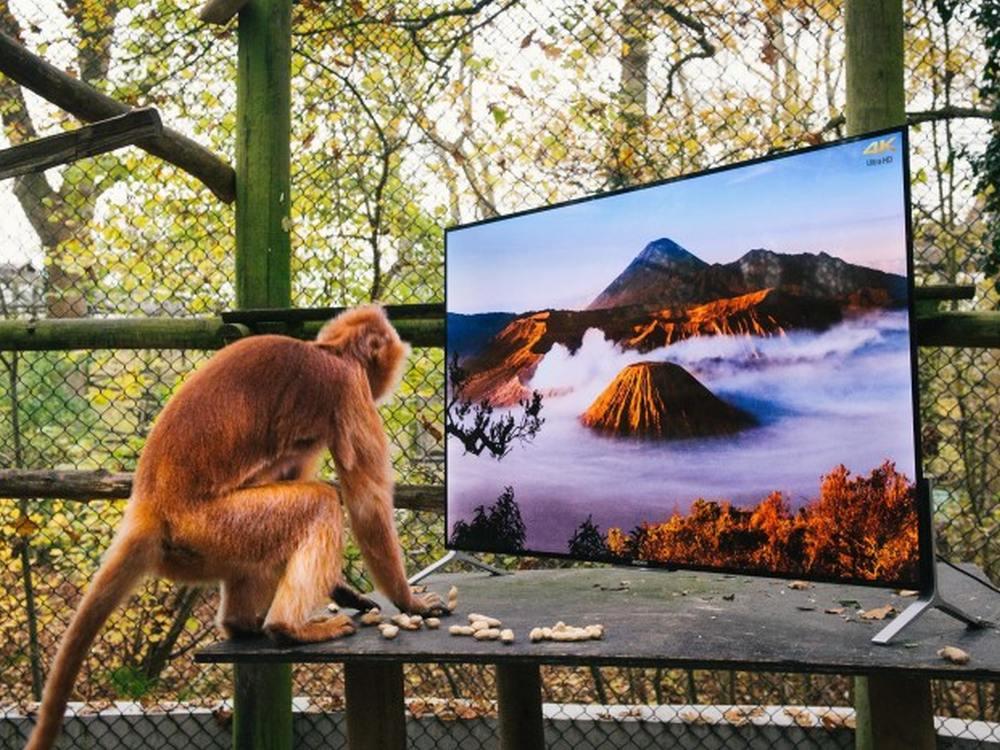 Konzentriert sich aufs Wesentliche - Primat vor seinem 4K TV im Gehege (Foto: Sony)