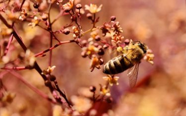 Honigbiene, Symbolbild (Foto: Pixabay / Capri23auto)